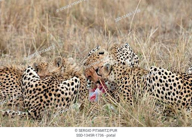 Africa, Kenya, Masai Mara, Cheetahs Acinonyx jubatus lying in grass