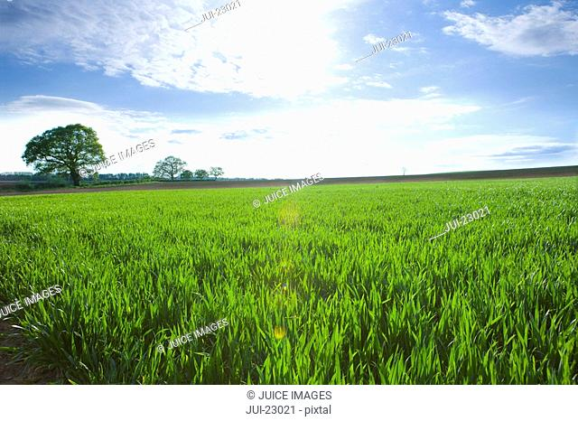 Sun shining over young wheat field