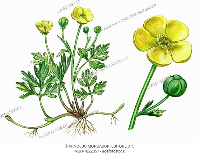 Creeping Buttercup (Ranunculus Repens), by Giglioli E., 20th Century, ink and watercolour on paper. Whole artwork view. Drawing of the plant with flowers