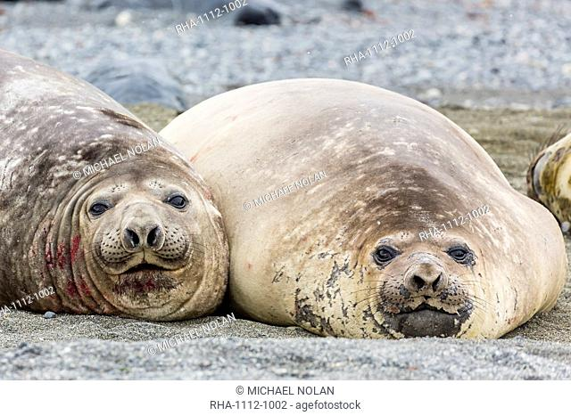 Southern elephant seals (Mirounga leonina) hauled out for their annual catastrophic moult, Snow Island, Antarctica, Polar Regions