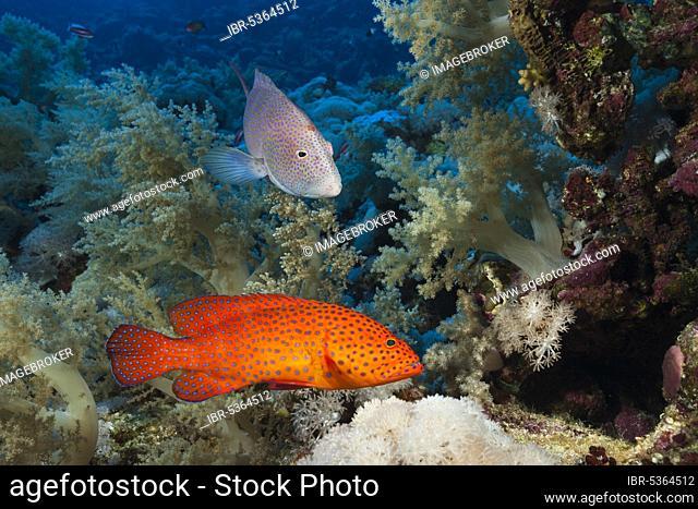 Coral Grouper and Lyretail Grouper (Cephalopholis miniata), Elphinstone, Red Sea, Egypt, Africa