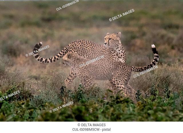 A female cheetah (Acinonyx jubatus) and its cub sparring, Ndutu, Ngorongoro Conservation Area, Serengeti, Tanzania