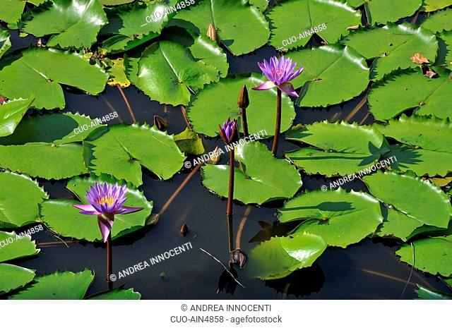 Red and blue water lily or Blue star water lily, Nymphaea stellata, Sri Lanka, Asia