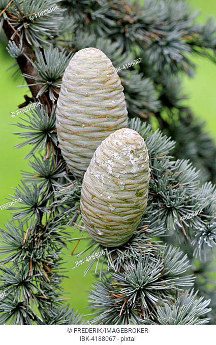 Blue Atlas cedar (Cedrus atlantica cv. glauca), needles and unripe cones, North Rhine-Westphalia, Germany