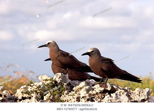 Brown / Common Booby (Anous stolidus)