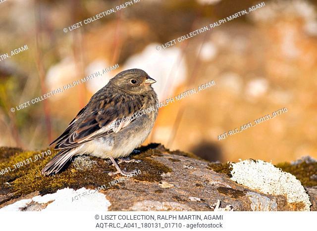 Snow Bunting, Plectrophenax nivalis ssp. insulae, Iceland, juvenile, Plectrophenax nivalis