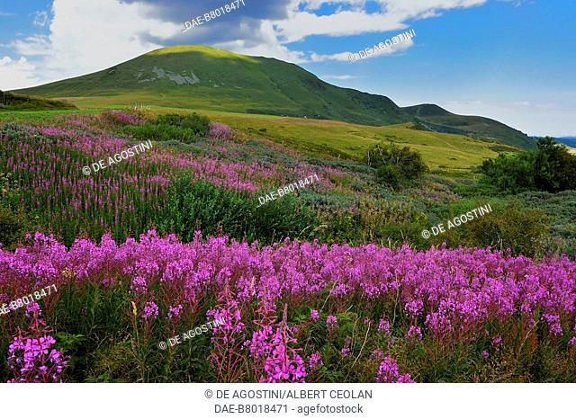 Flower-filled meadow near Besse-et-Saint-Anastaise, Auvergne volcanoes region , Auvergne-Rhone-Alpes, France