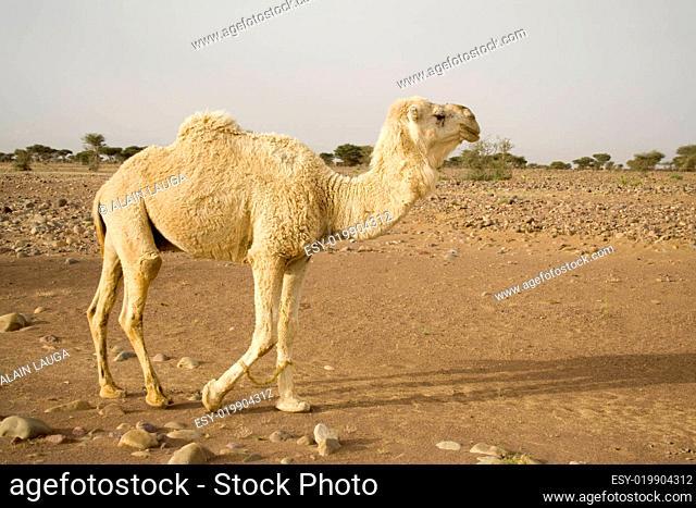 A white camel in the desert