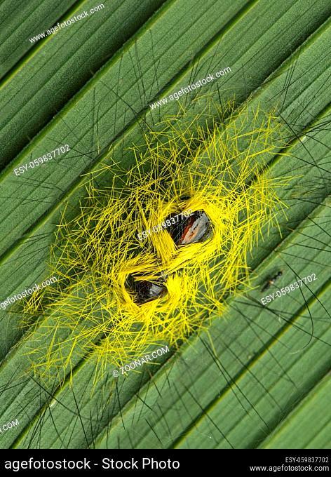 Insekten-Puppen an der Unterseite eines Palmenblattes, Amazonas Regenwald, Yasuni Nationalpark, Ecuador / Insect pupas sticking to the underside of a palm leaf