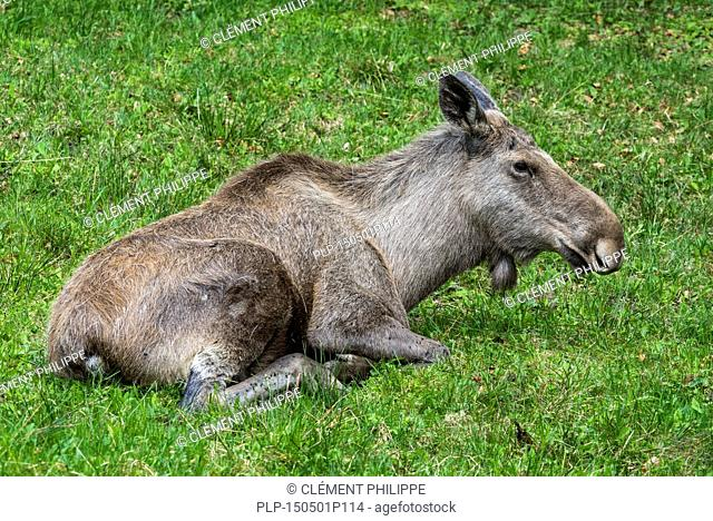 Moose (Alces alces) female / cow resting in grassland