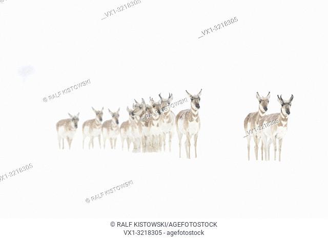 Pronghorns / Gabelböcke / Gabelantilopen ( Antilocapra americana ), small herd in winter, on snow covered plains of Yellowstone NP, USA