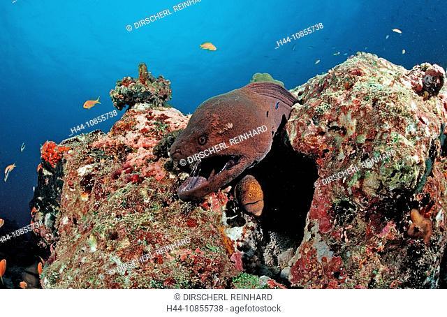 10855738, Maldives, Indian Ocean, Meemu Atoll, Mur