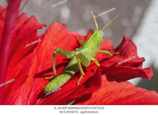 Grasshopper on a hibiscus, Valencia, Spain