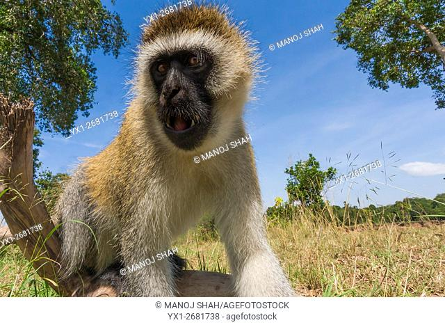 Vervet monkey poking his nose into a remote camera, Masai Mara National Reserve, Kenya