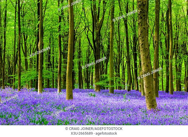A carpet of bluebells in the beech woodland of West Woods in spring near Marlborough, Wiltshire, England