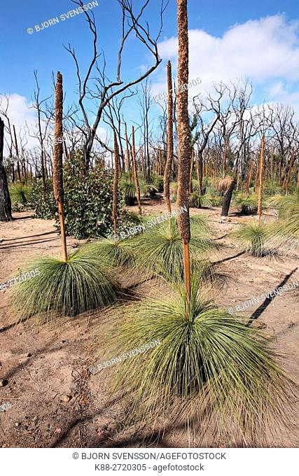 Australian Grasstrees (Xanthorrhoea) regenerating after bushfire. Brisbane Ranges National Park, Victoria, Australia
