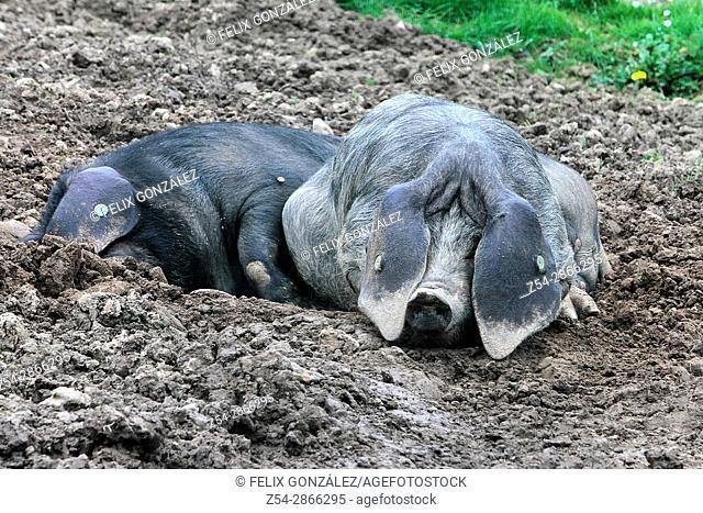 Pig Astur Celta Asturias, Spain