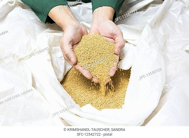 Hands scooping mustard seeds from a plastic sack