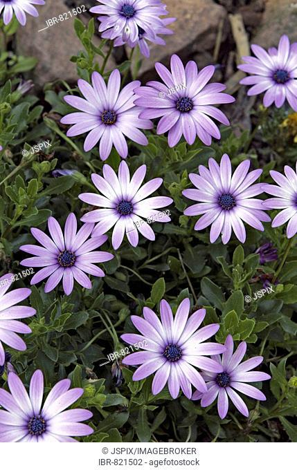 Flowering Gazania hybrid (Gazania), Germany, Europe