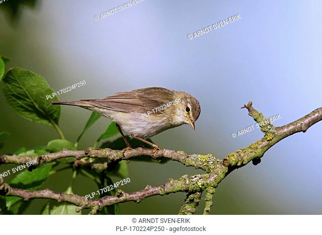 Willow warbler (Phylloscopus trochilus) perched in tree