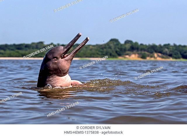 Brazil, Amazonas state, Amazon river basin, along Rio Negro, Amazon River Dolphin, Pink River Dolphin or Boto (Inia geoffrensis)