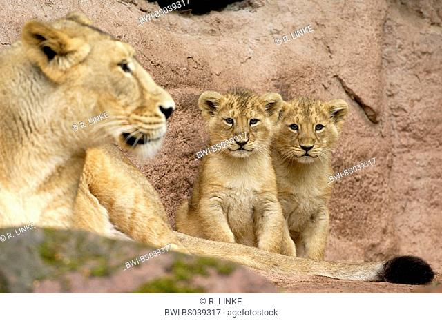 lion (Panthera leo), two cub with female