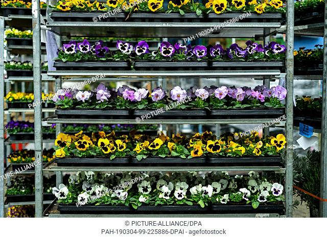 01 March 2019, Bavaria, München: In a garden centre there are pansies on a shelf. Around one fifth of their annual turnover is generated by gardeners with...