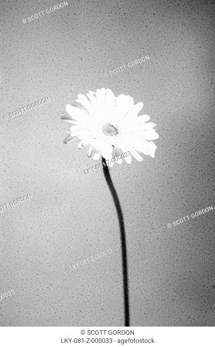 Single Gerber daisy flower