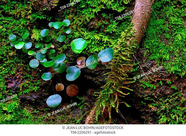 spain,canary islands, la palma, los tilos : giant laurel root, moss and leaves