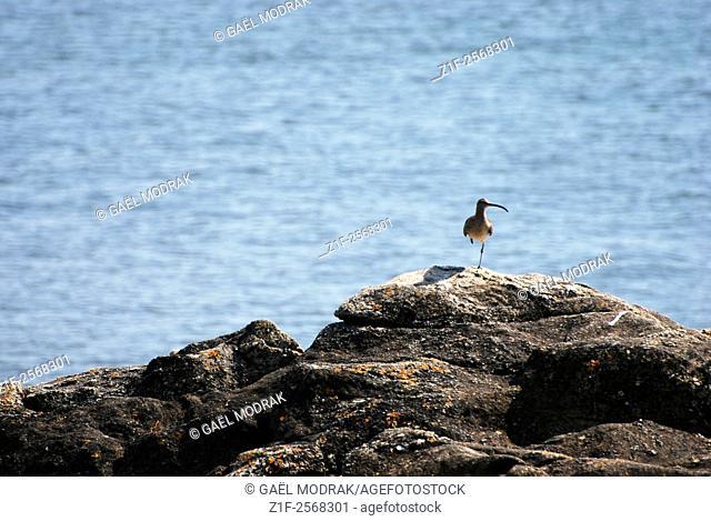 A bird standing on one leg in Brittany, France. Calidris ferruginea