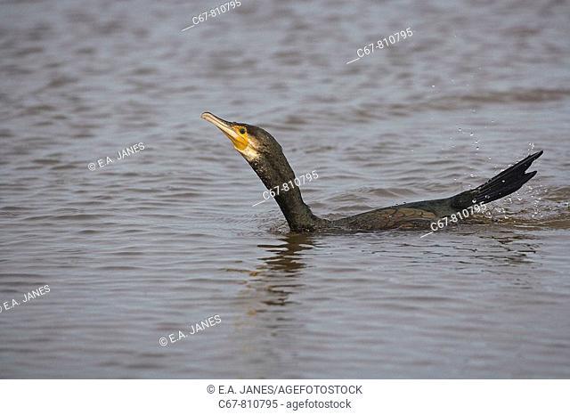 Cormorant Male Phalacrocorax carbo fishing