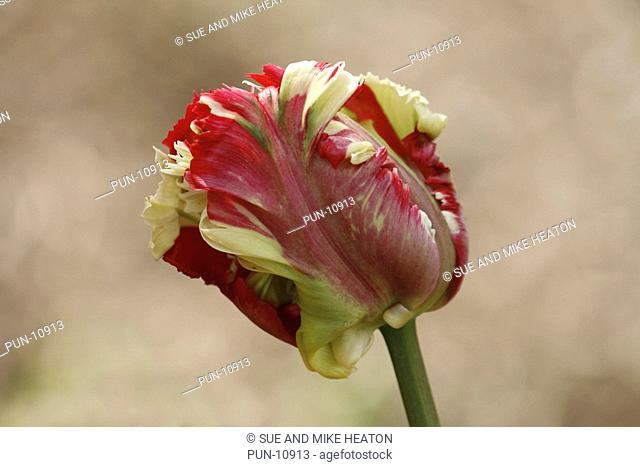 Multi-coloured parrot tulip flowering in May