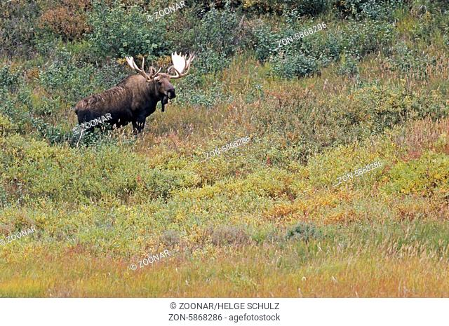 Elchbulle in der Tundra - (Alaska-Elch) / Bull Moose standing in the tundra - (Alaska Moose) / Alces alces - Alces alces (gigas)