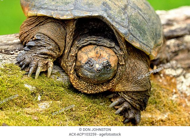 Common snapping turtle (Chelydra serpentina) Captive, Minnesota wildlife Connection, Sandstone, Minnesota, USA
