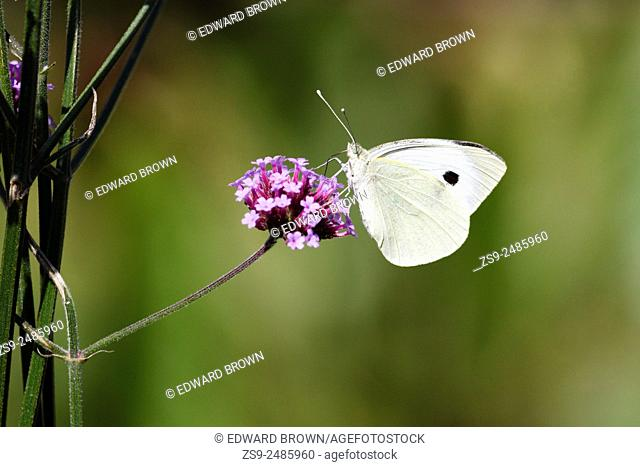 Large white or cabbage white butterfly (Pieris brassicae) on Verbena flower, East Sussex garden, UK