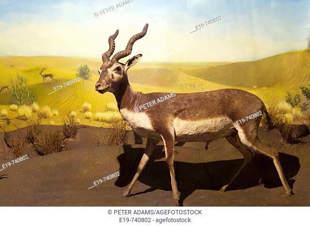 Indian Museum, antelope. Kolkatta (Calcutta). West Bengal, India