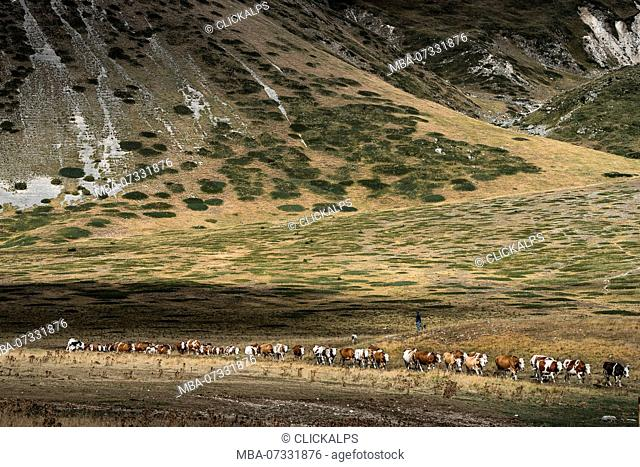 A queue of cows going to the farm, Campo Imperatore, L'Aquila province, Abruzzo, Italy, Europe