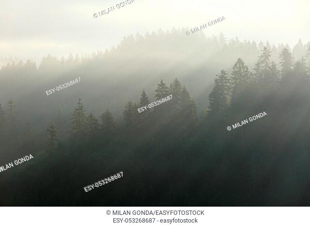 Misty coniferous forests of Velka Fatra national park in northern Slovakia