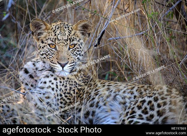 Leopard (Panthera pardus) juvenile (cub) with the most beautiful eyes. Central Kalahari. Botswana