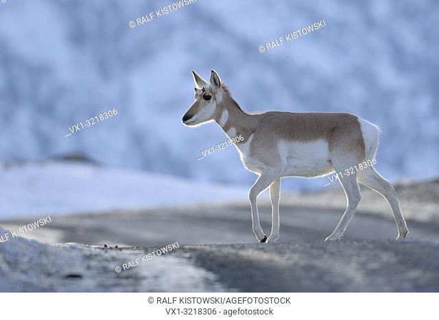 Pronghorn / Gabelbock ( Antilocapra americana ) / Gabelantilope, crossing a dirt road in the evening, nice backlight situation, Yellowstone NP, USA.