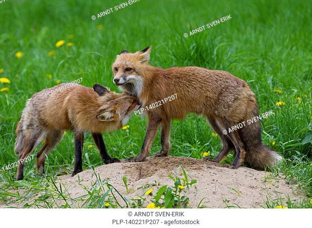 Two red foxes (Vulpes vulpes) greeting each other near den in meadow