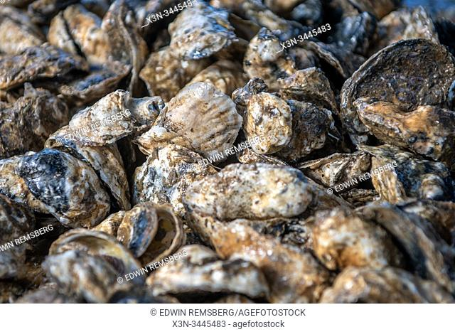 Oysters sitting to be sorted , Tall Timbers, Maryland, USA