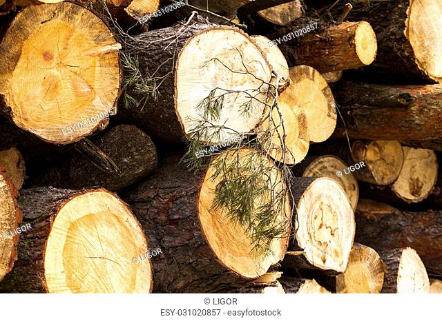 felled during harvesting and tree trunks stacked together. conifer tree