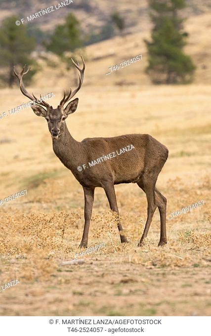 Red deer Cervus elaphus. Parque Nacional de Monfragüe. Extremadura. Spain