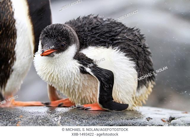 Gentoo penguin Pygoscelis papua chick at Jougla Point, Wiencke Island, Antarctica, Southern Ocean  MORE INFO The gentoo penguin is the third largest of all...