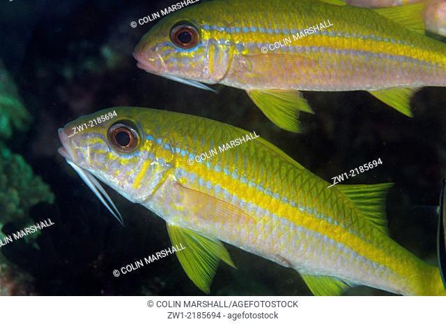 Yellowfin Goatfish (Mulloidichthys vanicolensis), Cannibal Rock dive site, Horseshoe Bay, Nusa Kode, south Rinca Island, Komodo National Park, Indonesia