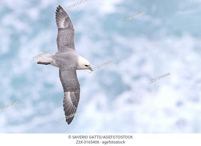 Northern Fulmar (Fulmarus glacialis auduboni),
