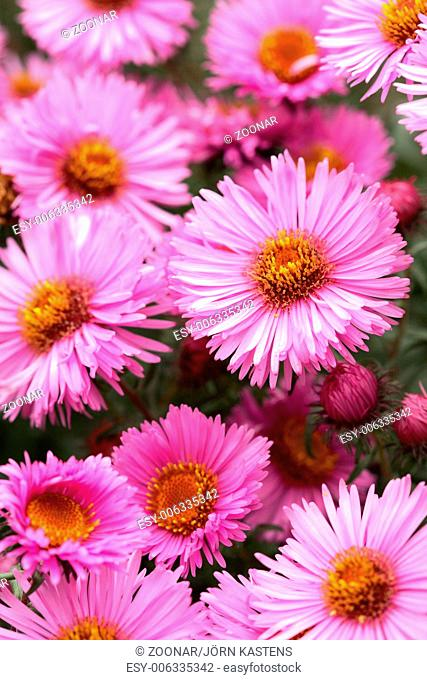 New England Aster 'Barrs Pink'