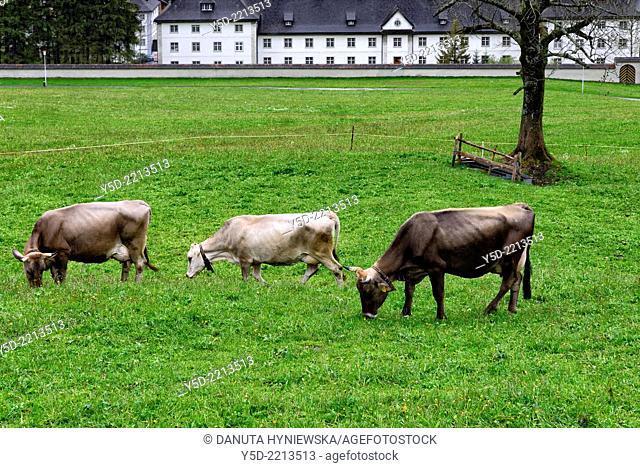 Swiss cows in foreground, Engelberg Benedictine Monastery in the background, Engelberg, Obwalden canton, cantral Switzerland