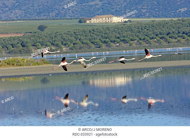 Greater Flamingoes, Fuente de Piedra Lagoon, Andalusia, Spain / Phoenicopterus ruber roseus
